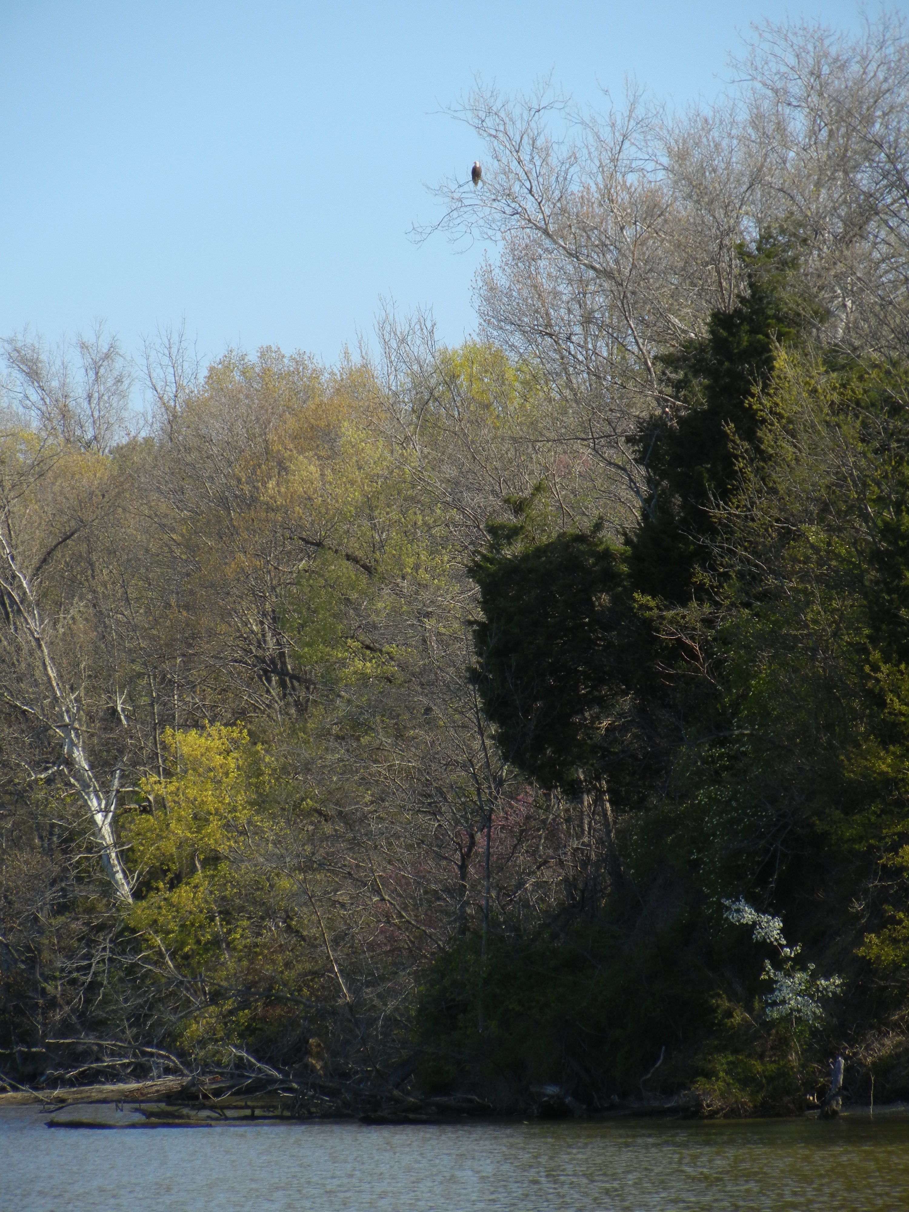 Bald eagle in the treetop