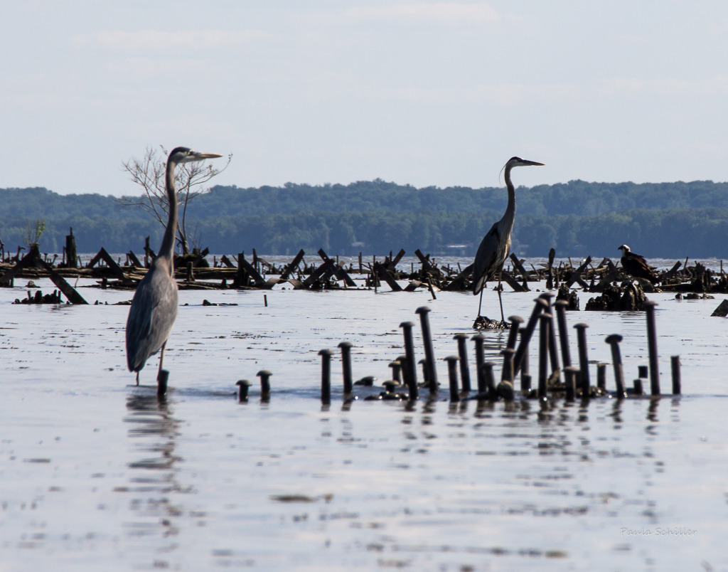 Herons at Mallows Bay, Charles County MD