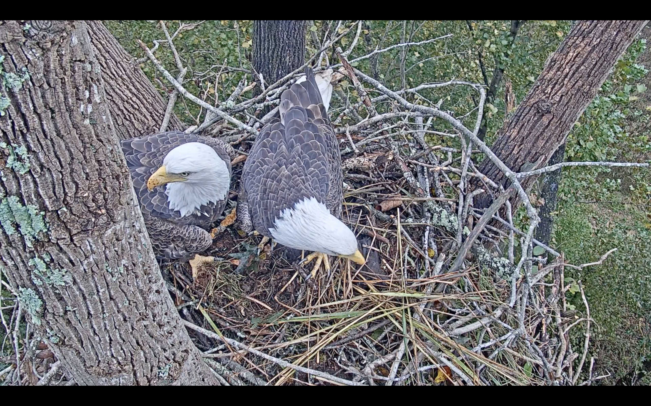 Two eagles on nest